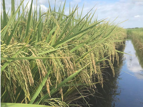 Eficiência energética na irrigação de lavouras de arroz