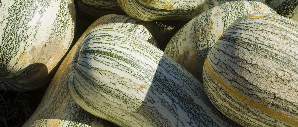 Green Striped Cushaw Pumpkin