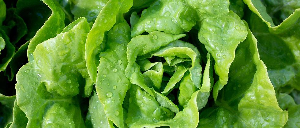 Summer Bibb Lettuce