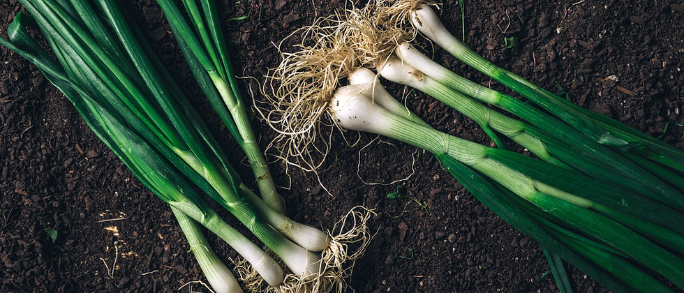 Evergreen White Bunching Nebuka Scallion/Onion