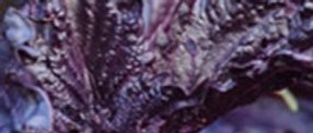 Basil, Purple Ruffels