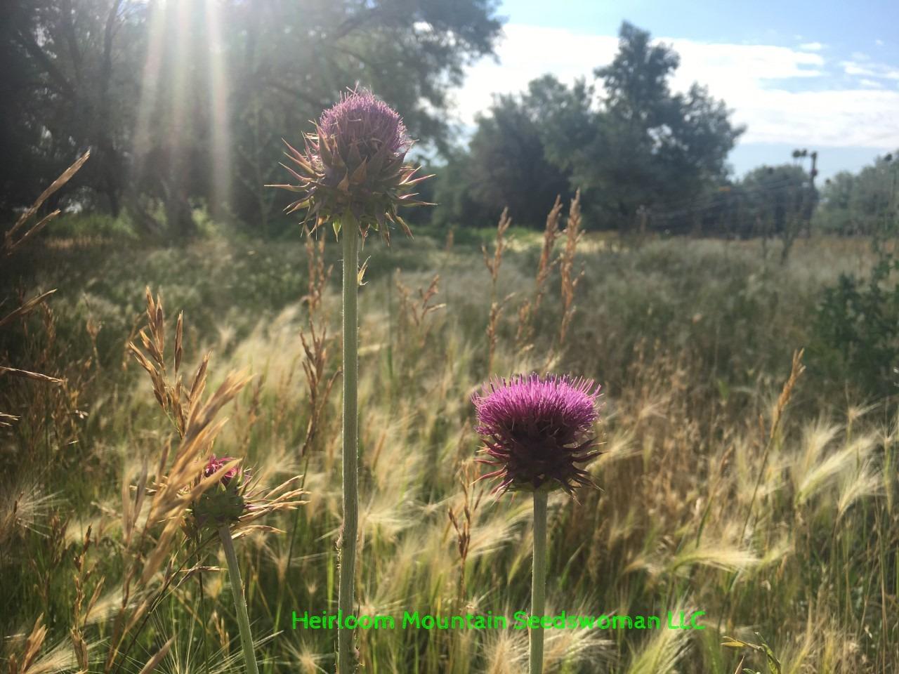 Burdock Grows wild in Colorado