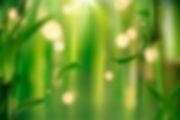 photo bambou.jpg
