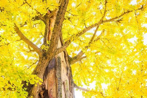 ginkgo-tree-in-japan_1203-2252.jpg