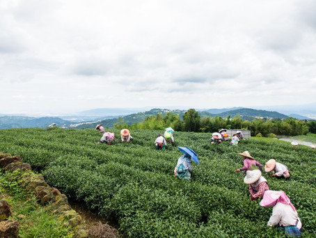 Dong Ding - Hometown of Taiwan Oolong Tea