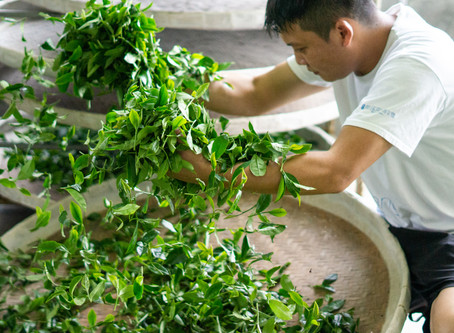 Black Tea Production in Mingjian: Part One