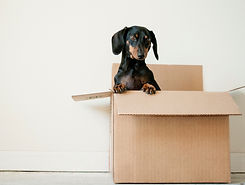 Cute dog in moving boxes after house has been cleaned by Fresh Nest Green Cleaning move in cleaning service and move out cleaning service in Kelowna and West Kelowna.