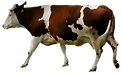 Brown et vache blanche