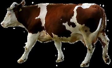 Bruine en witte koe