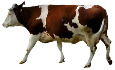 Brown and White Cow