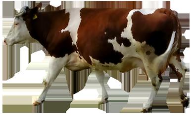 Brown e branco da vaca