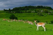 Roe Deer, National Trust