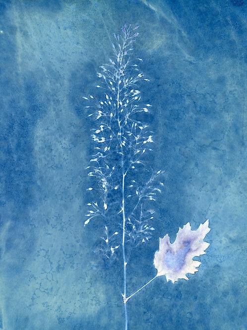"Hollyhock seedhead original cyanotype print 8"" x 10"""