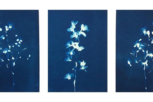 "Set of 3 Ornamental Plum Blossom. Original cyanotype prints 5.5 x 7.5 """