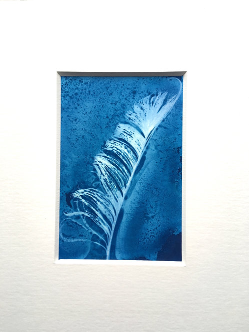 "Peacock feather original cyanotype print. 6 x 4 "" . Mounted size 8.5 x 10.5 """