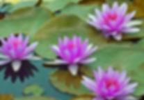 Lilly Pad 2.jpg