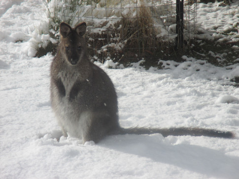 Bennetts Wallaby (in snow)