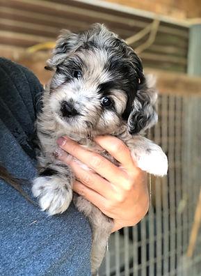 merle puppy.jpg