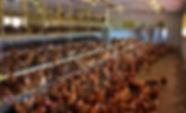 States fight California's chicken cage l