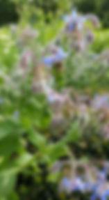 Bourrache et abeille