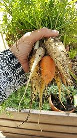 Récolte de carottes en jardin thérapeutique