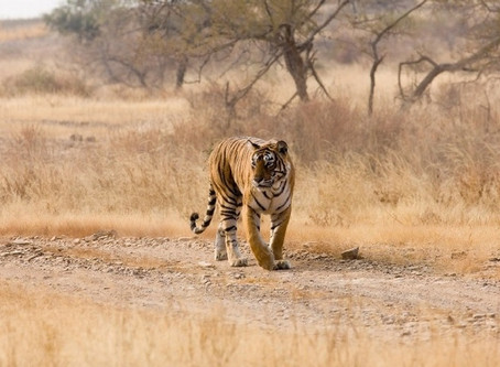 A tiger in the backyard – Part 1