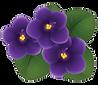 African Violet multiple buds with leaf.p