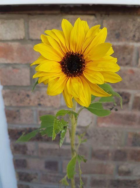 Finlay's sunflower
