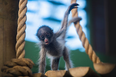 Spider monkey baby Amaya Pic 2 Andre Pat