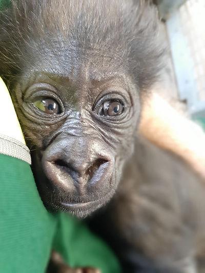 An infant western lowland gorilla is bei