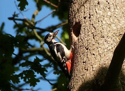 XB great spotted woodpecker feeding youn