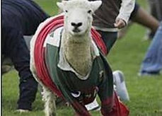 sheep in rugby.jpg