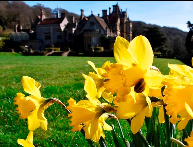 Tyntesfield daffodil