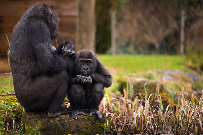 Western lowland gorillas  Mum Touni with