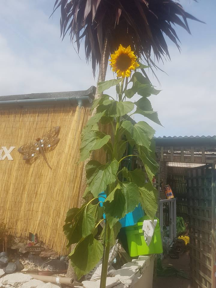 Logan's sunflower