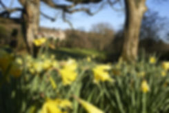 Daffodils in march at Tyntesfield, Somer