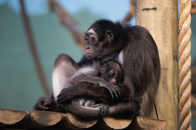 Spider monkeys - mum Ellie with baby Ama
