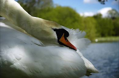 Swan at Backwell Lake by Cynthia Miller.
