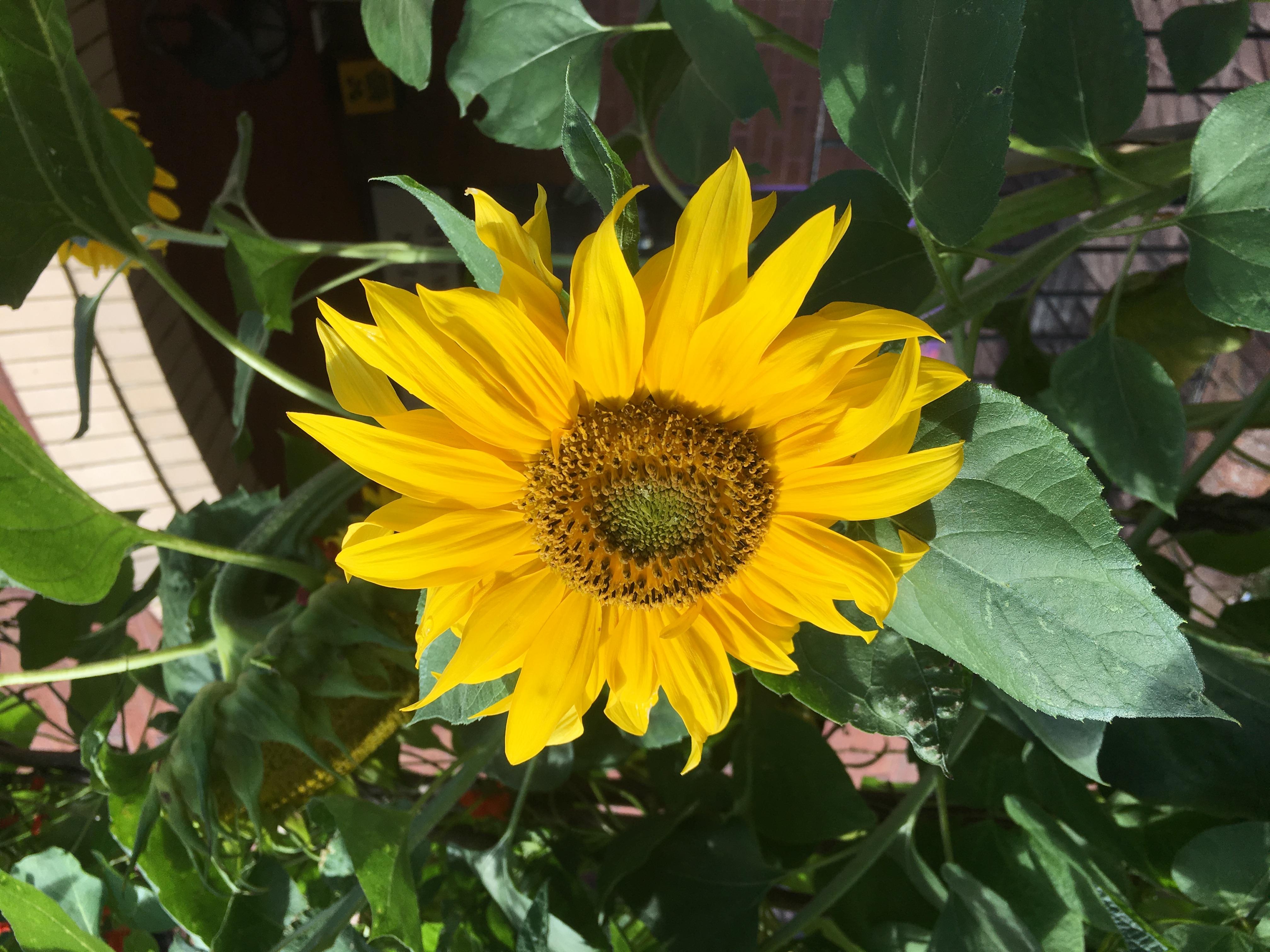 Link Road sunflower in flower