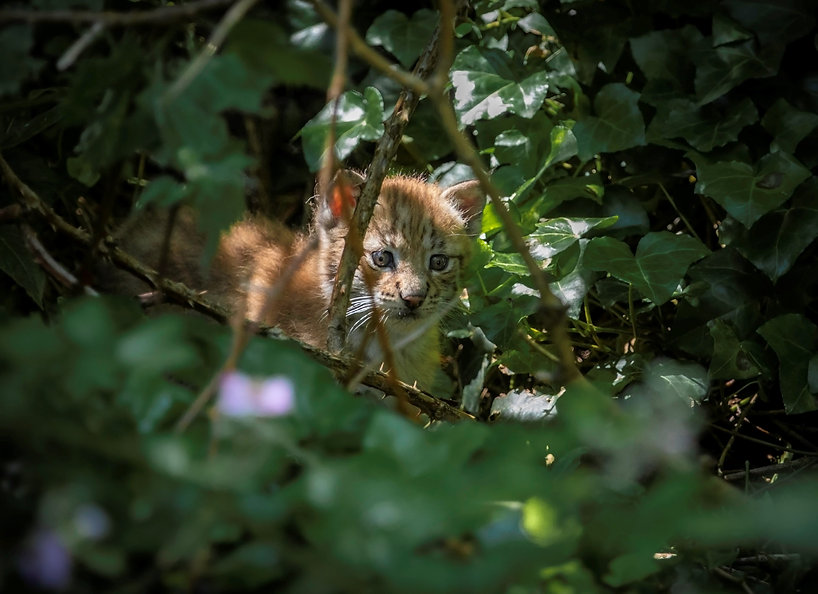 Lynx kitten - CREDIT JOSH BIGGS.JPG
