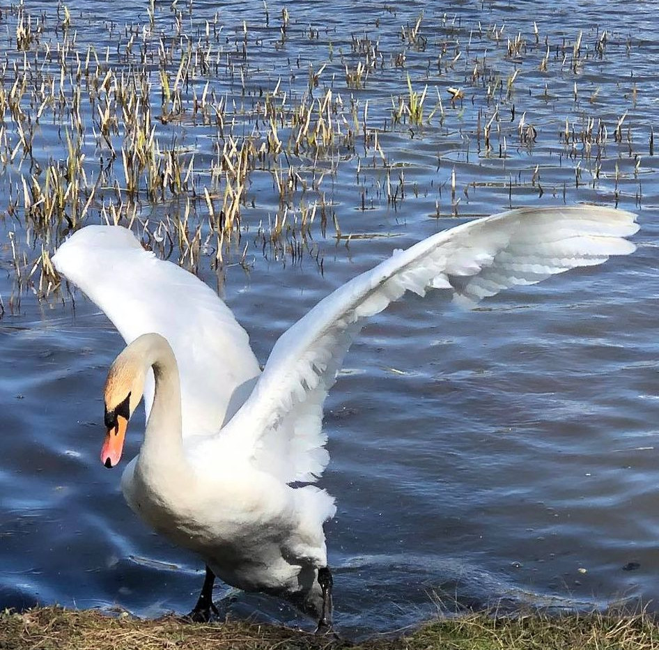 172162891_Swanning about at Backwell Lake