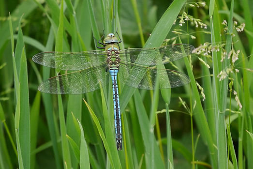 4 adult dragonfly National Trust Steve W