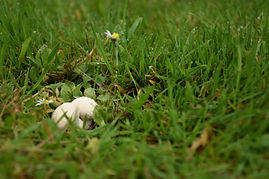 Anna Kilcooley - puffball mushroom .JPG