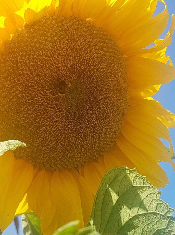 Logan sunflower with bee