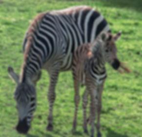 Baby Zebra.jpg