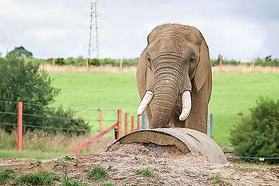 Shaka the African elephant with Pylon on the horizon, Noah's Ark Zoo Farm - Bob Pitchford.