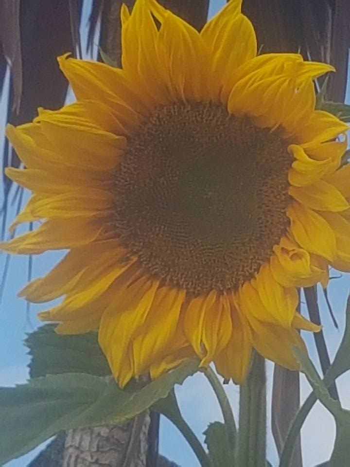 Logan's sunflower with bee