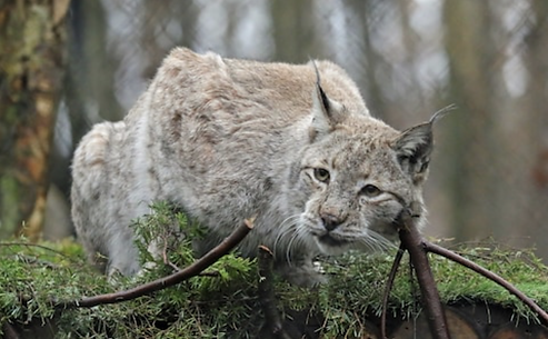 Lynx at Backwell Lake.PNG