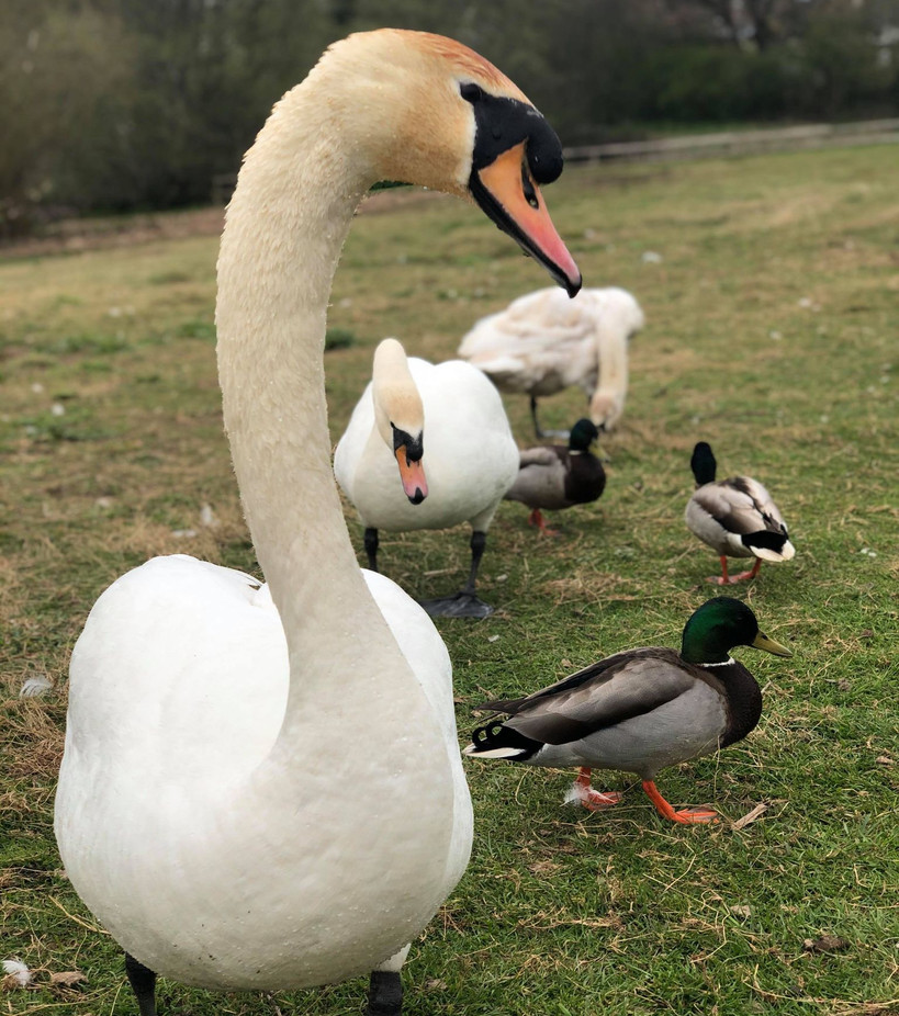 172271859Swanning about at Backwell Lake