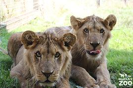 lion-cubs1.jpg